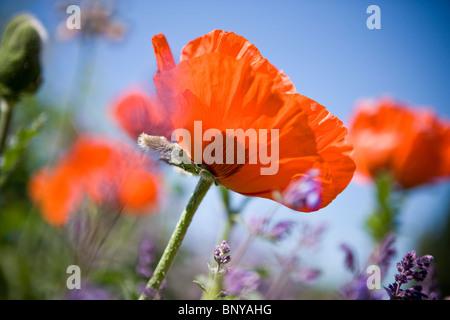 A red oriental poppy flower amongst lavender - Stock Photo