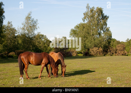 Wild New Forest Ponies grazing on the moorland in the New Forest, Hampshire, UK - Stock Photo