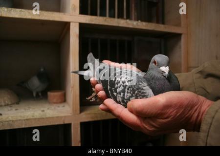 Racing pigeon being handled in loft, Rutland, UK - Stock Photo