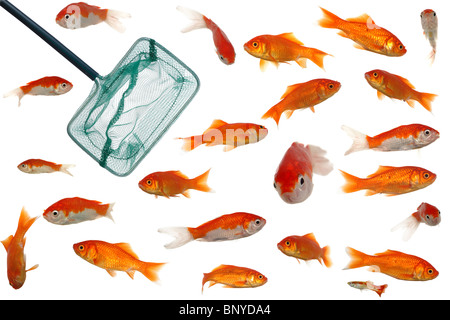 Many gold fish in a fish bowl. On clean white background ...
