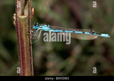 Common Blue Damsel Fly on a plant stem - Stock Photo