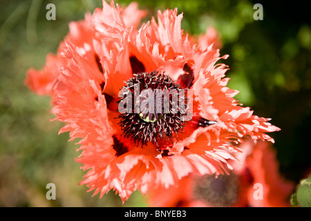 A feathered oriental poppy flower seen from above, Farncett Summer variety - Stock Photo