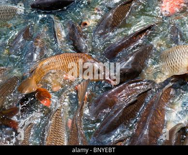 Cyprinus carpio. Swarming carp fish at the edge of a lake - Stock Photo