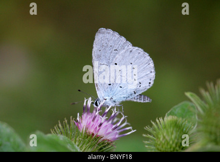 Holly Blue Butterfly, Celastrina argiolus, Lycaenidae - Stock Photo