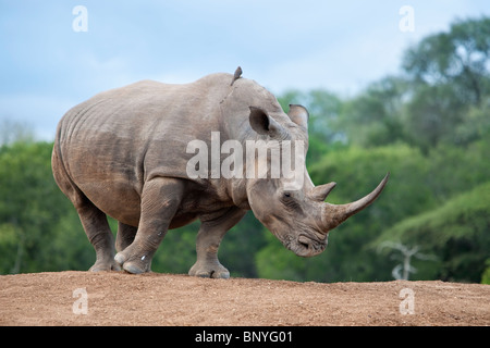 White rhino, Ceratotherium simum, Royal Hlane national park, Swaziland, Africa - Stock Photo