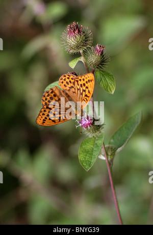 Silver-Washed Fritillary, Argynnis paphia, Nymphalidae. Feeding on Burdock Flower. - Stock Photo