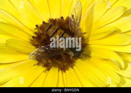 Hover fly on marigold flower in UK back garden - Stock Photo