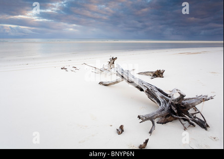 Driftwood on white sand beach. Fraser Island, Hervey Bay, Queensland, AUSTRALIA - Stock Photo
