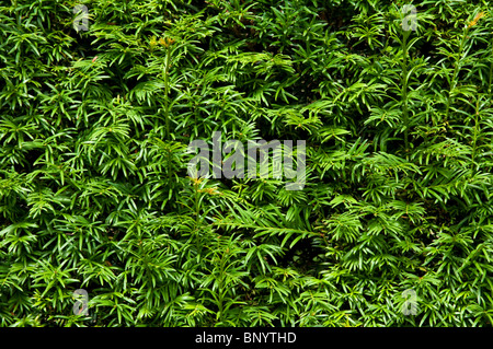 Yew Hedge - close up view - background / texture. - Stock Photo