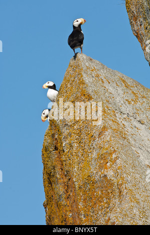 Stock photo of three horned puffins perched on a rock. - Stock Photo