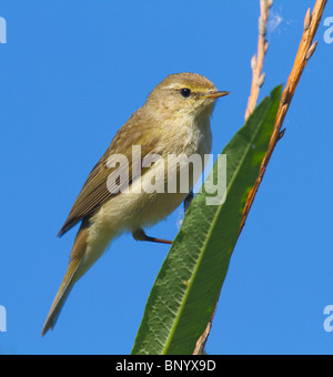 Willow Warbler (Phylloscopus trochilus) perched on a branch - Stock Photo