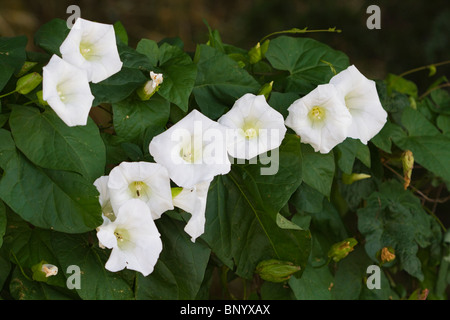 Large Bindweed (Calystegia silvatica) flowers - Stock Photo