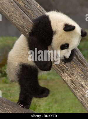 5-month old giant panda cub climbing tree, Wolong, Sichuan Province, China - Stock Photo