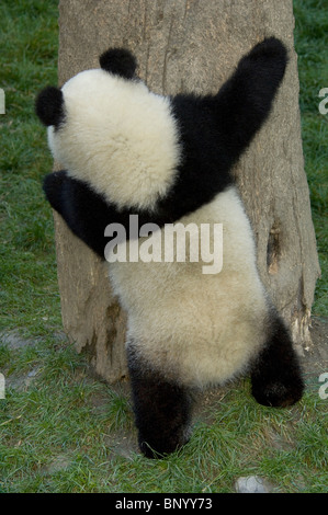 Giant panda cub hugging a tree, Wolong, Sichuan Province, China - Stock Photo