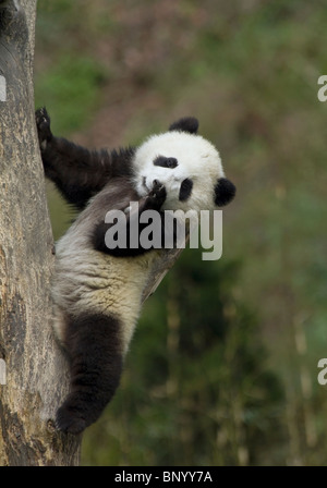 A young panda cub uses a tree branch as a back rest, Sichuan, China - Stock Photo