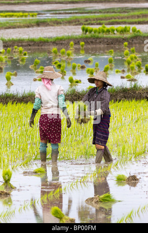 women working in rice field, Nyaung Shwe district, Inle Lake , Myanmar - Stock Photo