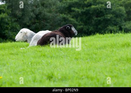 A Herdwick ewe with her newborn lamb in the Lake District - Stock Photo