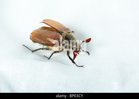Beetle in front of white background, isolated. - Stock Photo