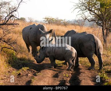 White Rhinoceros Family Gathering - Stock Photo