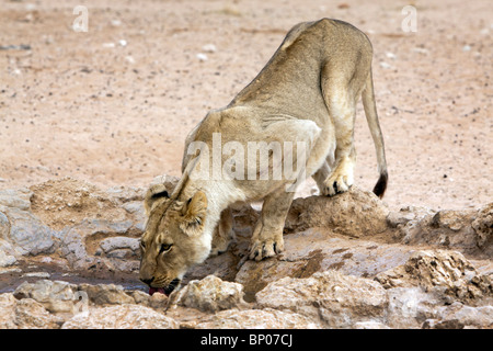 A lioness drinking water in the Kalahari in the Kgalagadi Transfrontier National Park in South Africa and Botswana - Stock Photo
