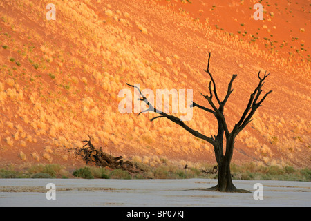 Dead Acacia tree against a red sand dune, Sossusvlei, Namibia, southern Africa - Stock Photo