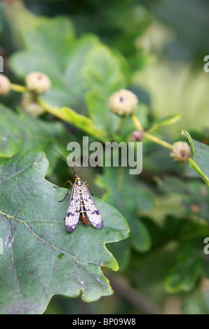female scorpion fly resting on an oak leaf with immature acorns - Stock Photo