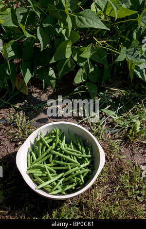 Freshly picked Green bean plants (Phaseolus cultivar) in vegetable garden, Michigan USA - Stock Photo