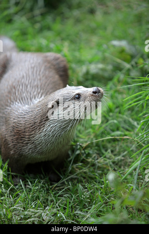 England, Cornwall, Tamar Otter & Wildlife Centre. European otter in a captive breeding project. - Stock Photo