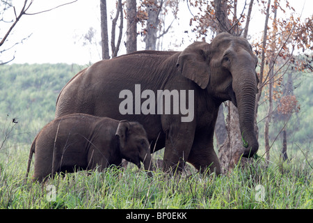 India, Kerala, Periyar National Park. Wild Indian (Asian) elephant mother and calf walking through a forest clearing. - Stock Photo
