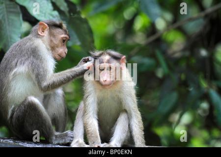 India, Kerala, Periyar National Park. Bonnet macaques grooming. - Stock Photo