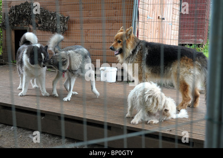 our four family pet dogs outside in their dog run - Stock Photo