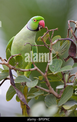 A Rose-ringed Parakeet (Psittacula krameri) nibbling on a twig. - Stock Photo