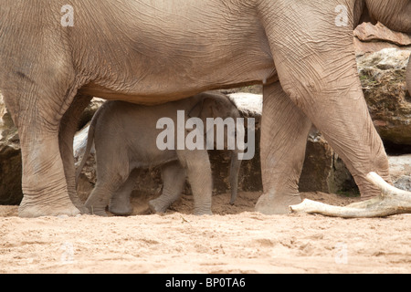 Newly born male Asian Elephant (Elephas maximus) calf less than one month old with its mother (captive) - Stock Photo