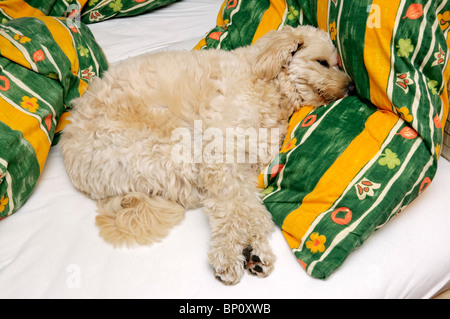 Small off-white pet terrier dog on owner's bed. - Stock Photo