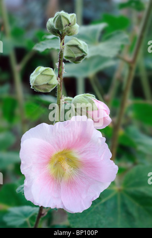 Closeup of pink hollyhock (Alcea rosea). - Stock Photo
