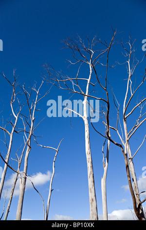 Dead trees, Madeira - Stock Photo