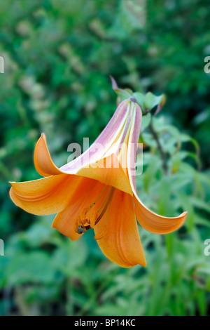 Downward-facing trumpet-shaped orange tiger lily (lilium lancifolium) blooming - Stock Photo