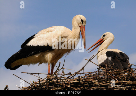 PAIR OF WHITE STORKS (CICONIA CICONIA) ON NEST, ALSACE, HAUT RHIN, FRANCE - Stock Photo