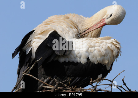 WHITE STORK (CICONIA CICONIA) PREENING AT NEST, ALSACE, HAUT RHIN, FRANCE - Stock Photo