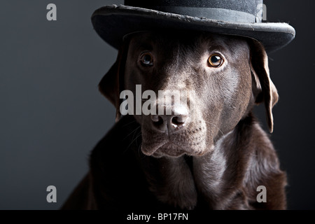 Shot of a Handsome Chocolate Labrador in Bowler Hat - Stock Photo