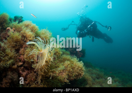Spiral Tube Worm and Scuba Diver, Spirographis spallanzani, Cap de Creus, Costa Brava, Spain - Stock Photo