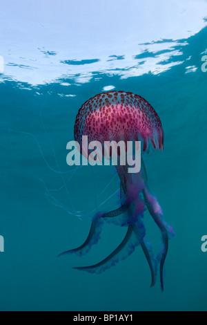 Luminescent Jellyfish, Pelagia noctiluca, Cap de Creus, Costa Brava, Spain - Stock Photo