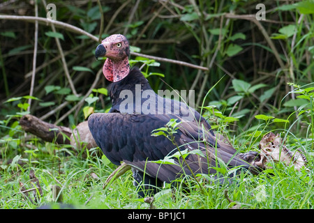 A red headed vulture (Sarcogyps calvus) alongside the remains of a spotted deer. - Stock Photo