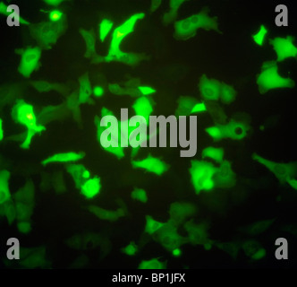 Adherent cells expressing the Green Fluorescent Protein GFP - Stock Photo