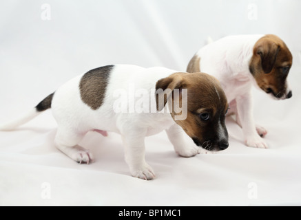 Jack Russel Terrier puppies over white background - Stock Photo