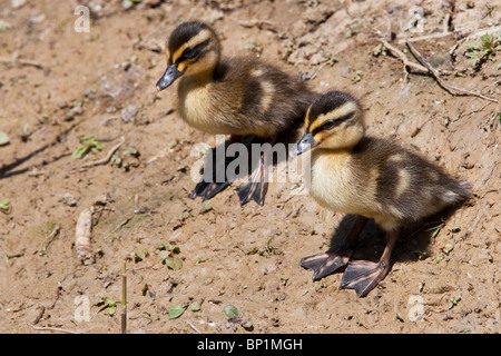 Two Mallard Ducklings (Anas Platyrhynchos) cautiously  approach the water, West Sussex. Jack Moon Photography - Stock Photo
