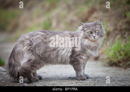 A long-haired, smoky-grey cat, with light green eyes, stands perpendicular to the camera on a stone path, looking - Stock Photo