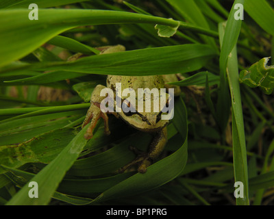A Pacific treefrog hides in the grass on Vancouver Island, British Columbia, Canada. - Stock Photo