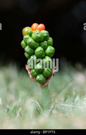 Cuckoo pint or Wild arum or Lords and Ladies plant, berries, Midlands, July 2010 - Stock Photo