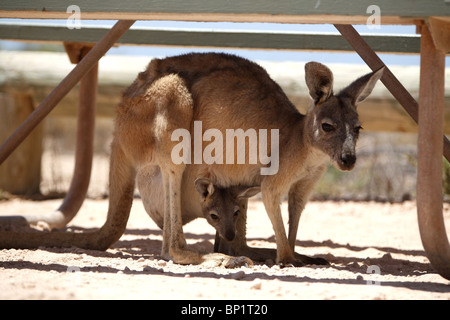 A kangaroo with a baby in the shade of a camping table, Exmouth, Australia - Stock Photo
